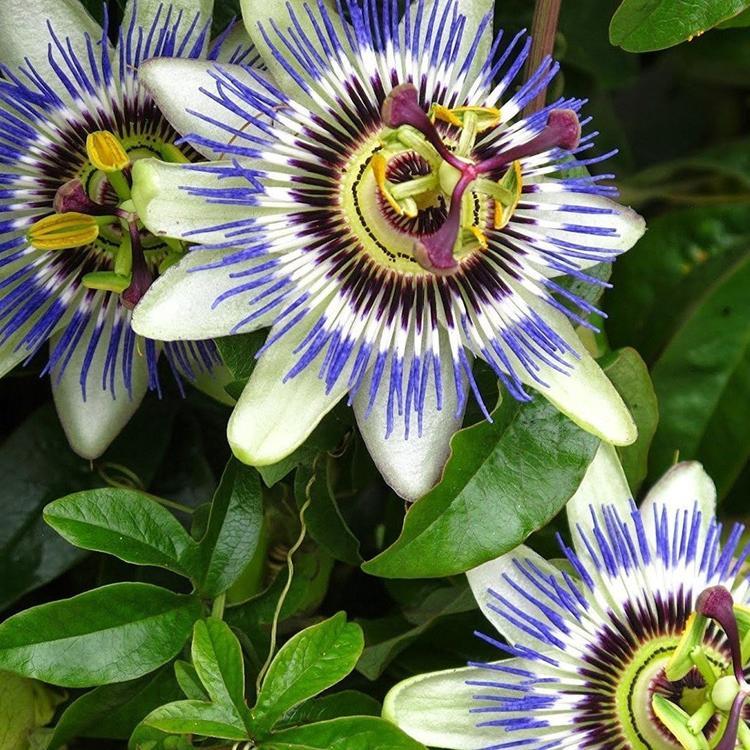 Hardy Passionflower Seeds (Passiflora incarnata)