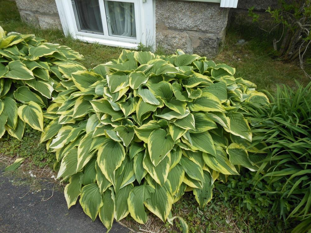hosta and daylily.JPG