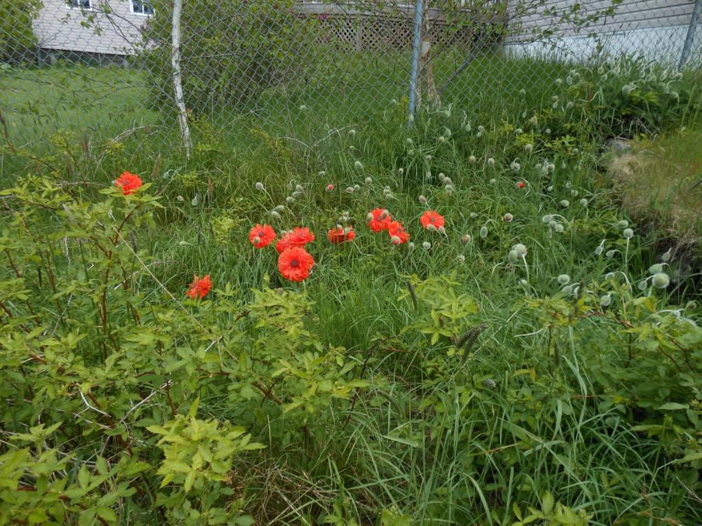 poppies gone wild in back with wild berries.JPG