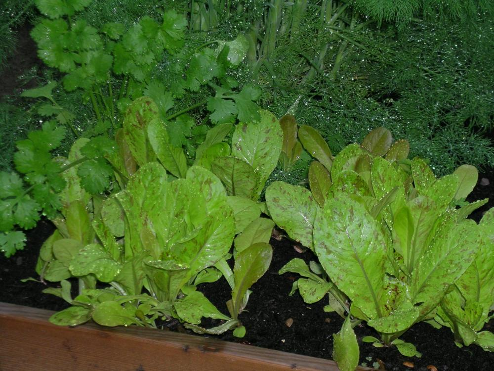 Herbs and Romaine.JPG