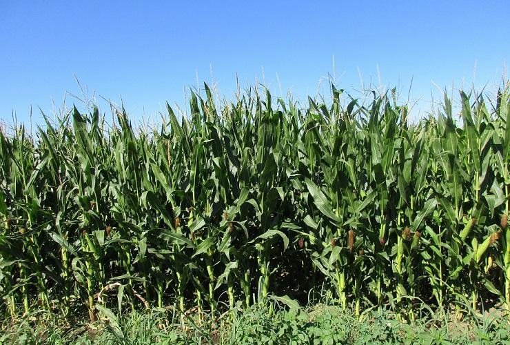 Yakima Sweet Corn Fields.JPG