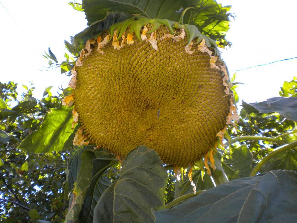 BigBoiSunflower.JPG